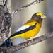 Evening Grosbeak, male by Glenn R Parker