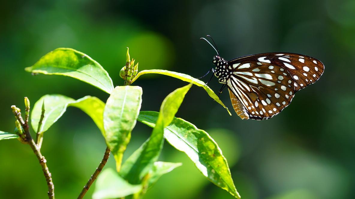 青斑蝶屬淡紋青斑蝶01