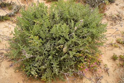 P. carnosum subsp. ferulaceum
