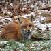 Red Fox by Steve Liebman