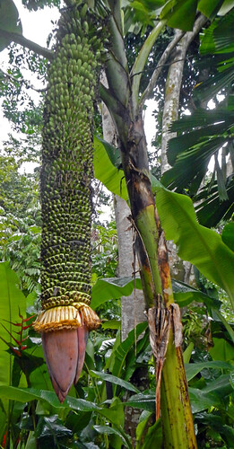 Crazy Banana Plant in the Singapore Botanical Garden