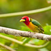 Red-headed Barbet, male