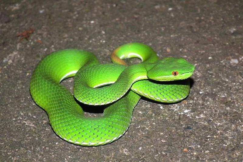 赤尾青竹絲,雖為大家熟知的毒蛇,但牠其實不會主動攻擊人類。