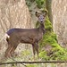 Roe Deer by charlie.syme