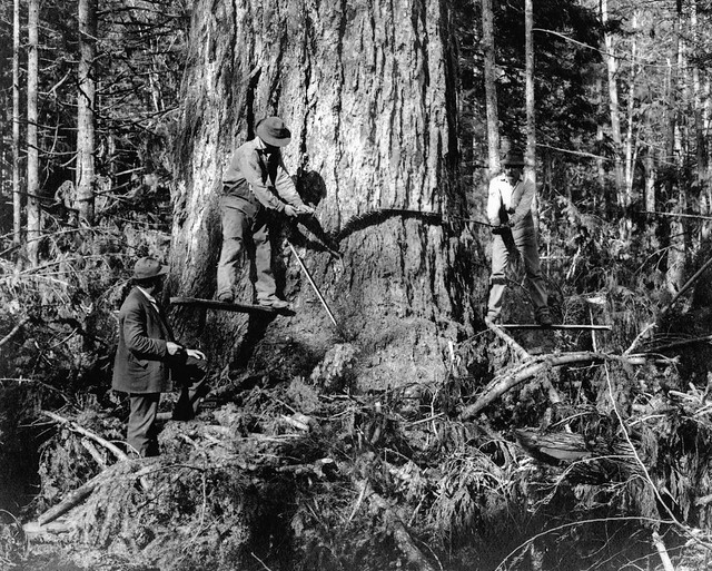 Cutting tree ca. 1910