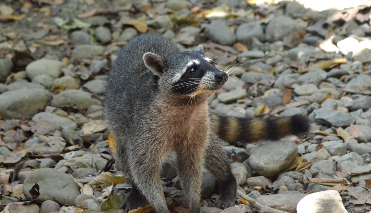 Raccoon - 3/27/2014