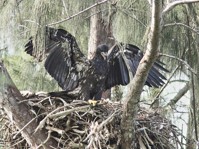 Bald Eaglet Glory alone on nest 2-20140404