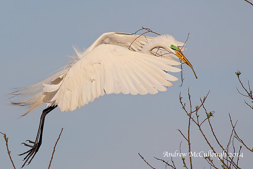 Great White Egret Stick Collecting