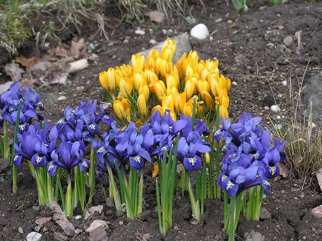 Iris reticulata 'Harmony' & Crocus 'Yellow Mammoth'