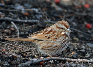 Bruant chanteur / Song Sparrow