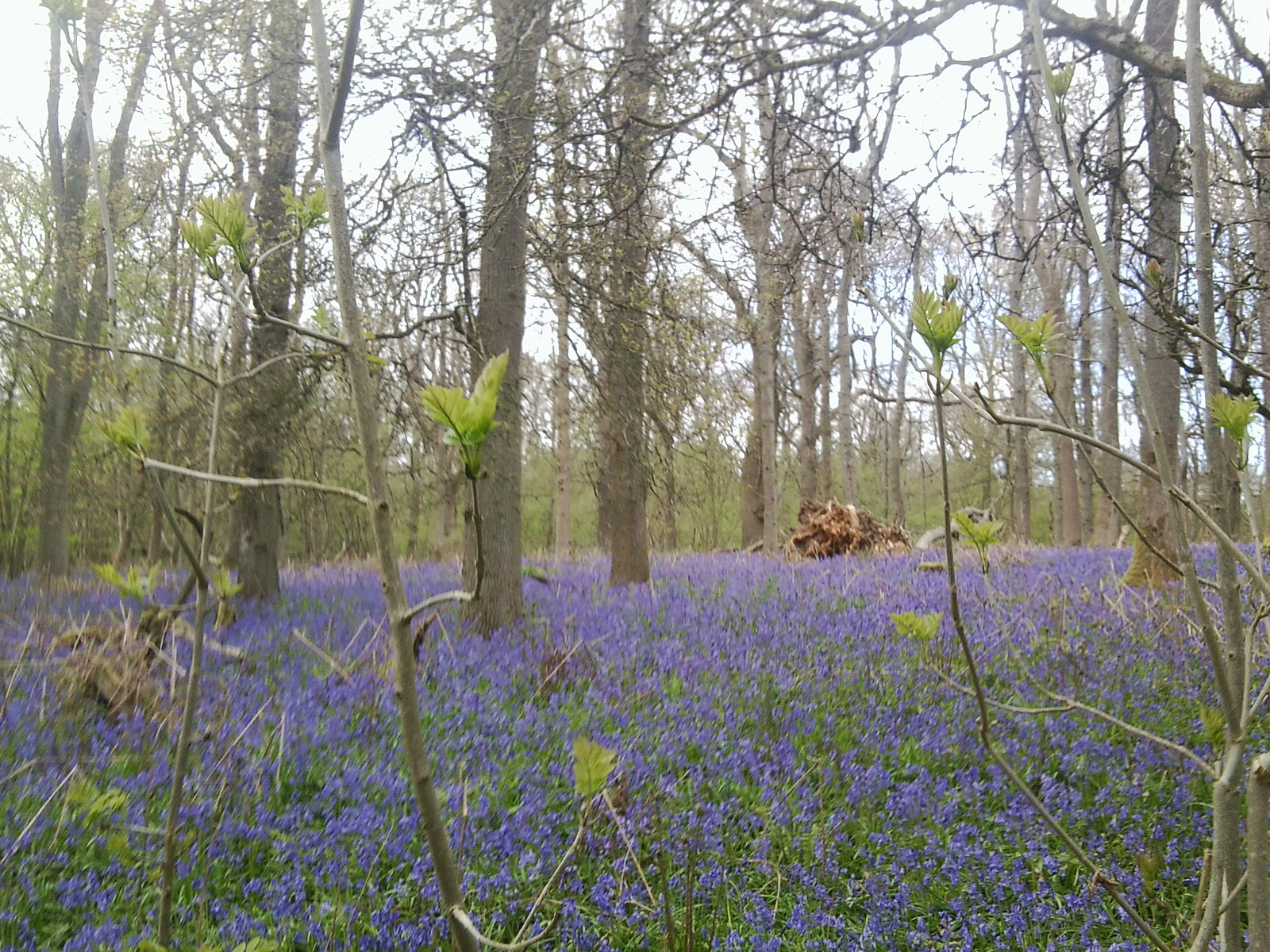 Old Simms Copse - Bluebells 1 Gomshall to Westhumble