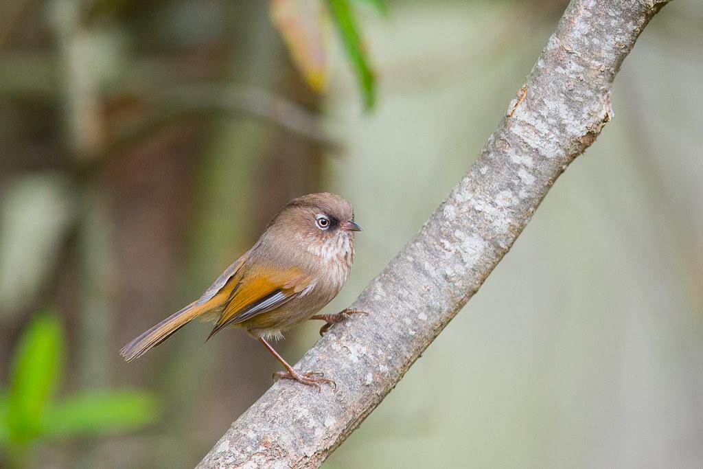 褐頭花翼-1041