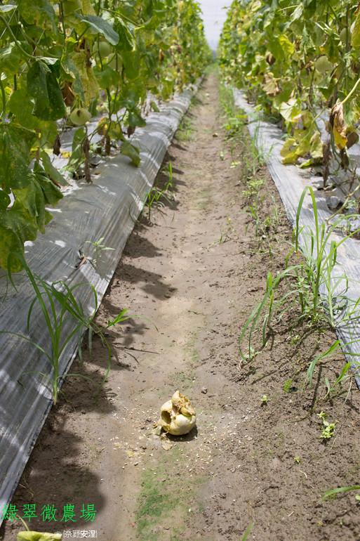 綠翠微農場--無毒美濃瓜 (11)