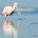 Spoonbill with reflection by Pat Ulrich