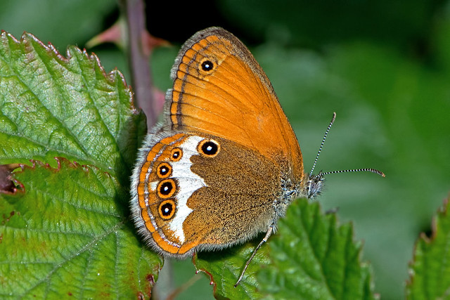 Coenonympha arcania - the Pearly Heath