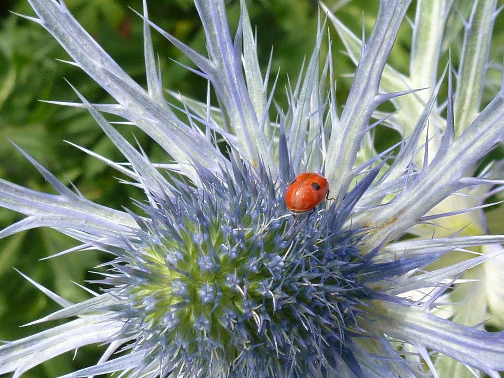 Flower Plant BlueHobbit Prickly LadyBird