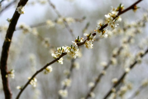 plum blossoms, in april
