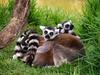 Lemurs having a Ball: Honolulu Zoo