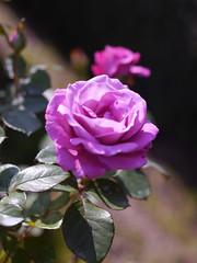 Rose, Royal Amethyst, バラ, ロイヤル アメジスト,