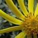 Yellow flower - Torres del Paine
