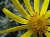 Yellow flower - Torres del Paine