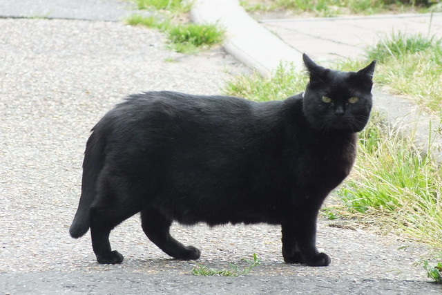 Black cat chubby review