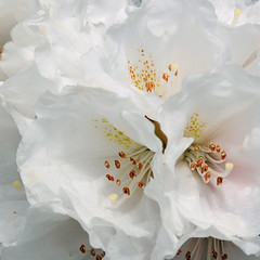 Rhododendron 0613 6513