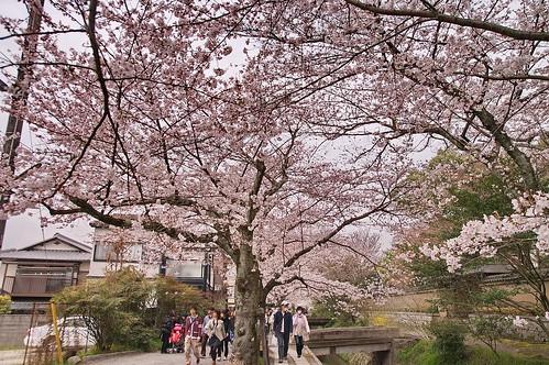 【写真】2013 桜 : 哲学の道/2018-12-24/IMGP9220
