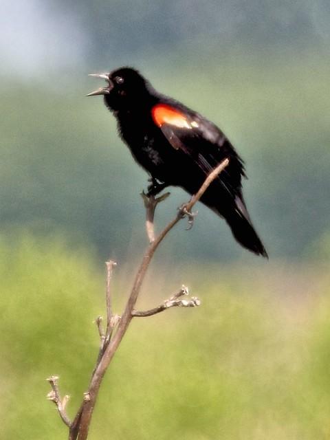 Red-winged Blackbird 20130707