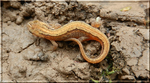 Young Smooth Newt 1
