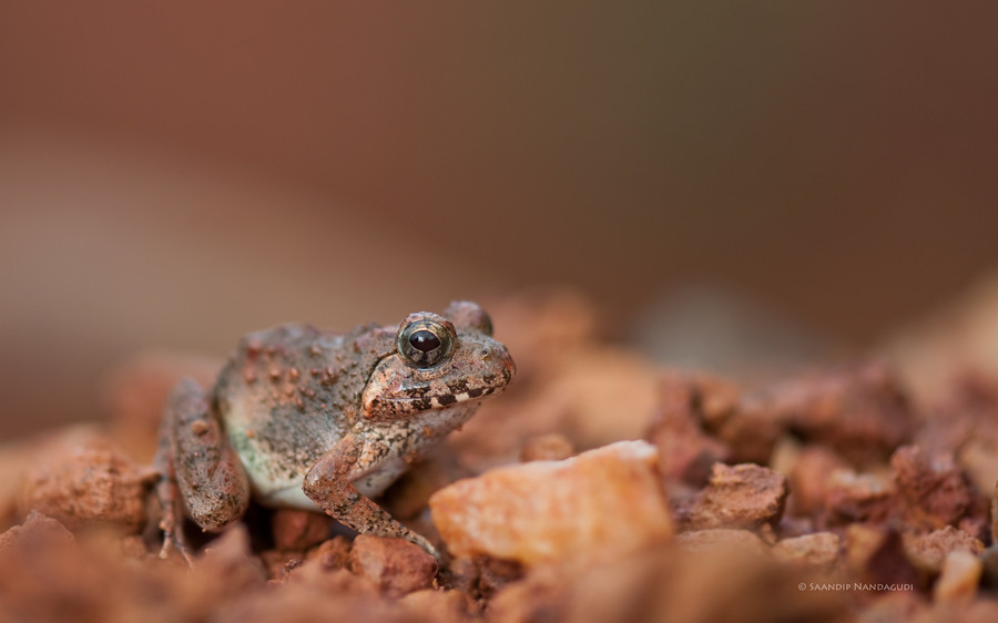 Rufescent Burrowing Frog (Fejervarya rufescens)