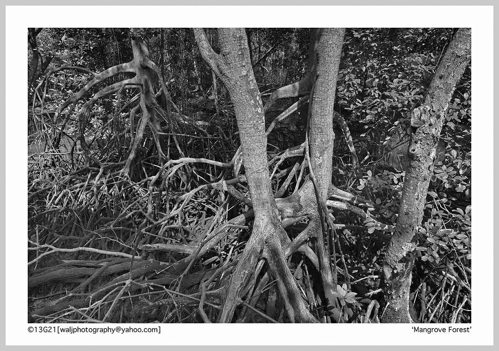Mangrove Marshall