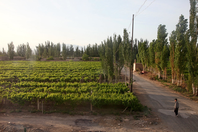 Grape trees field and village road in the late afternoon, Shanshan (Piqan) County ピチャン、夕方のブドウ畑