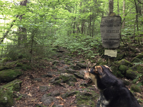 Laika on the trail