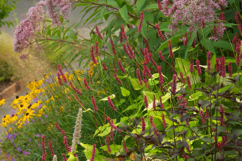 persicaria golden arrow  3456