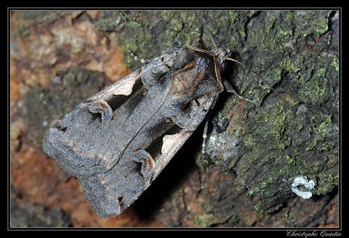 C noir (Xestia c-nigrum)
