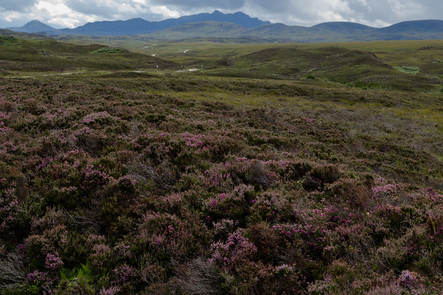 Heather in Bloom - Northern Scotland