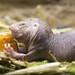 Naked Mole Rat by ZombyLuvr