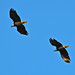 Eagles over Union Bay  2013-10-27 [16-28-44]