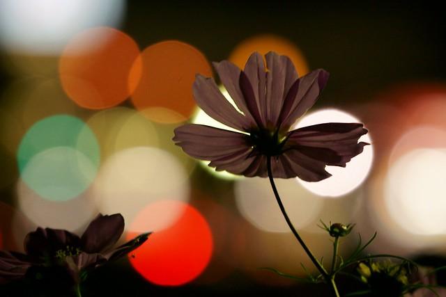 写真_「夜秋桜」