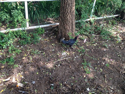 The rooster went into hiding leaving a hen and a chick deal with my displeasure