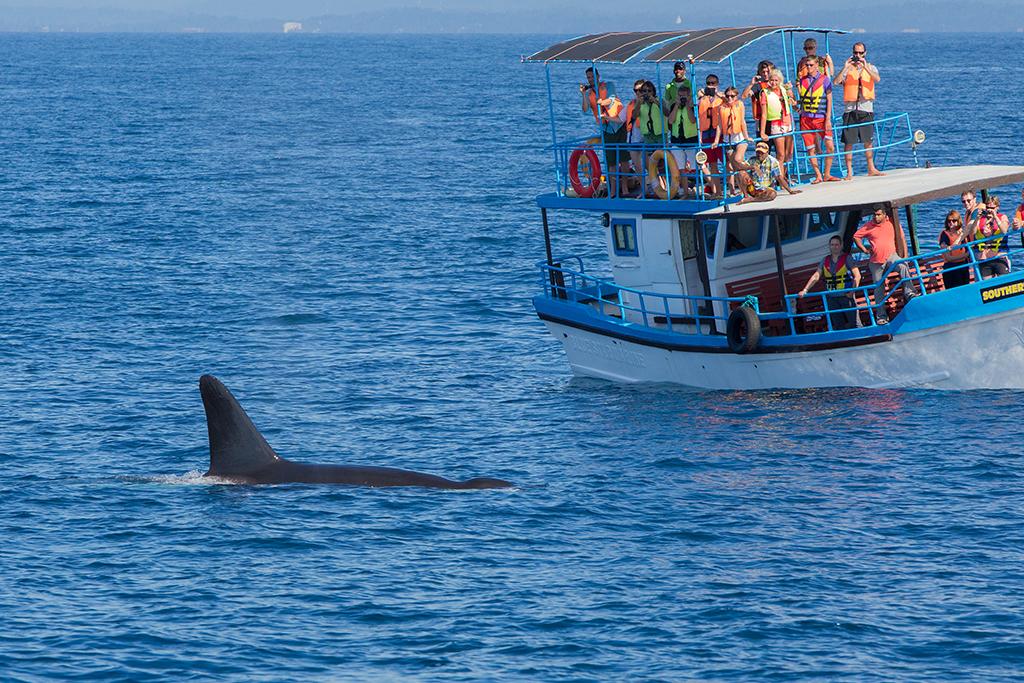 Killer Whale Sri Lanka 2013-11-25 (2)