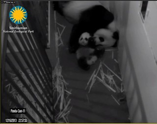 Giant Panda Cam - National Zoo.clipular4