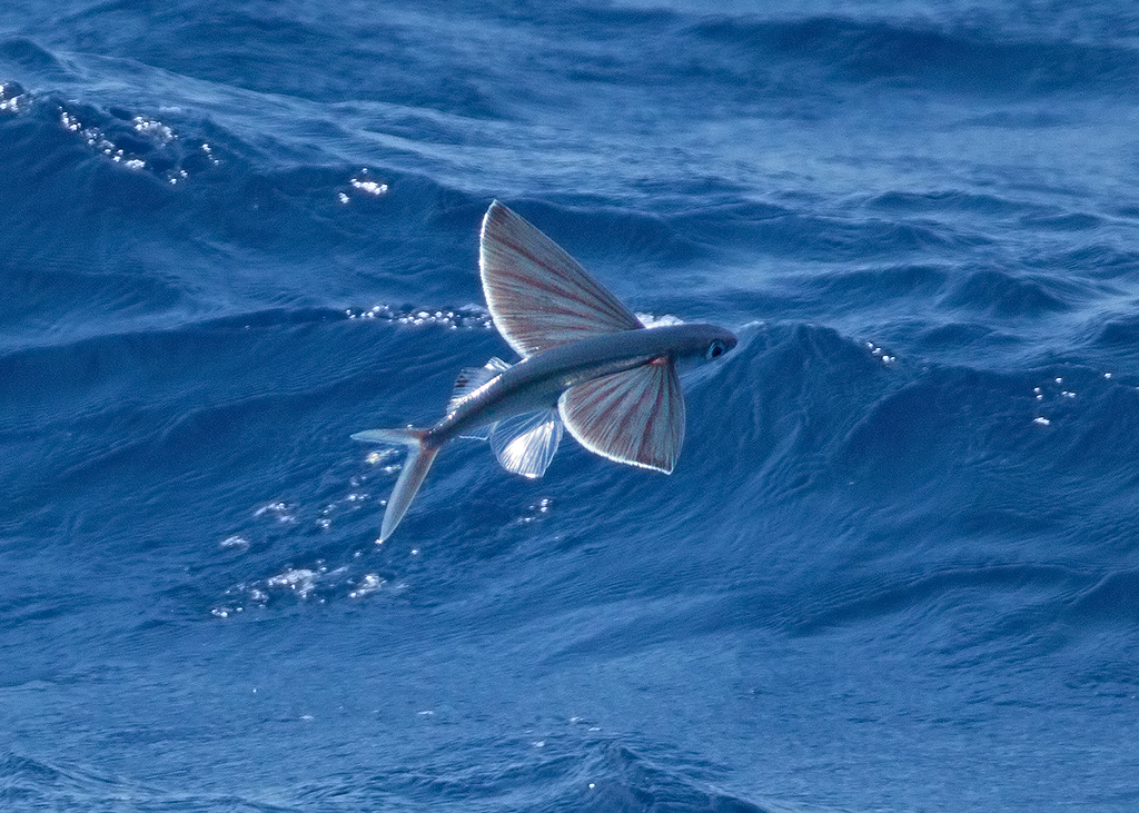 Flying Fish 2014-01-16