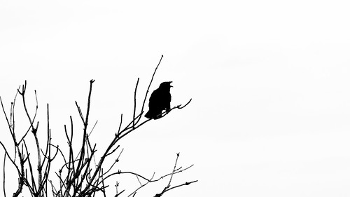 blackandwhite bw tree bird monochrome silhouette contrast canon washington branches pacificnorthwest crow canonef100400mmf4556lisusm nisquallynationalwildliferefuge canoneos5dmarkiii