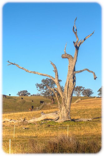 Dead Tree Near the Castlereagh Highway