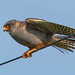 Red Footed Falcon - 1st Summer Male