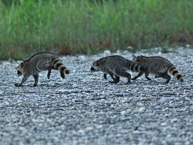 Young Raccoons 20150805