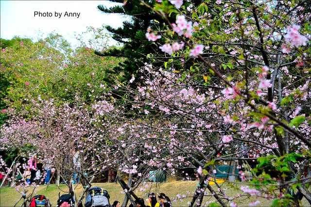 麗池櫻花17
