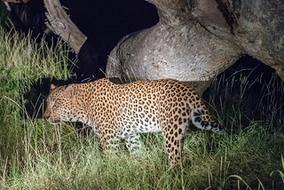 Leopard in der Kanana Concession